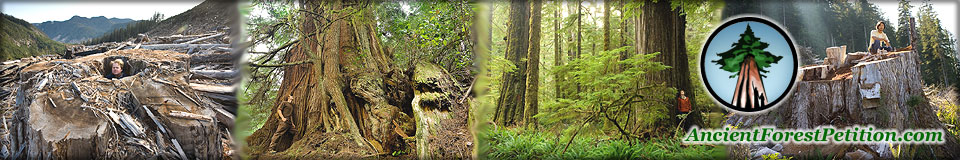 clearcut - old growth tree - stump